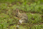 North America, USA, Colorado, Rocky Mountain Arsenal National Wildlife Refuge, young cottontail rabbit, cleaning itself
