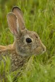 North America, USA, Colorado, Rocky Mountain Arsenal National Wildlife Refuge, cottontail rabbit