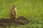 North America, USA, Colorado, Rocky Mountain Arsenal National Wildlife Refuge, black-tailed prairie dog at burrow