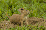 North America, USA, Colorado, Rocky Mountain Arsenal National Wildlife Refuge, young black-tailed prairie dogs at burrow