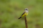 North America, USA, Colorado, Rocky Mountain Arsenal National Wildlife Refuge, western kingbird perched on mullein