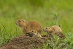 North America, USA, Colorado, Rocky Mountain Arsenal National Wildlife Refuge, black-tailed prairie dog family at burrow