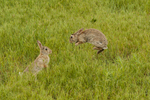 North America, USA, Colorado, Rocky Mountain Arsenal National Wildlife Refuge, cottontail rabbits fighting for dominance