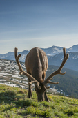 North America, USA, Colorado, Rocky Mountain National Park, bull elk in velvet, grazing