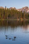 North America, USA, Colorado, Rocky Mountain National Park, Sprague Lake sunrise, female mallard duck and ducklings