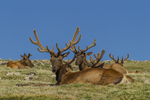 North America, USA, Colorado, Rocky Mountain National Park, bull elk in velvet, resting