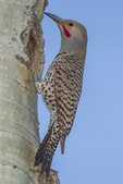 North America, USA, Colorado, Rocky Mountain National Park, male red-shafter flicker at nest hole