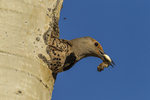 North America, USA, Colorado, Rocky Mountain National Park, male red-shafter flicker removing trash from nest
