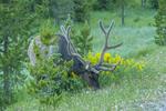 North America, USA, Colorado, Rocky Mountain National Park, bull elk in velvet