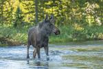 North America, USA, Colorado, Rocky Mountain National Park, young bull moose crossing stream