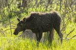 North America, USA, Colorado, Rocky Mountain National Park, young moose shaking off water