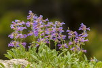 North America, USA, Colorado, Rocky Mountain National Park, penstemmon