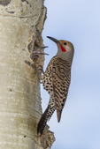 North America, USA, Colorado, Rocky Mountain National Park, male red-shafter flicker at nest hole feeding young