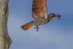 North America, USA, Colorado, Rocky Mountain National Park, male red-shafter flicker removing trash from nest hole