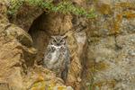 North America, USA, Colorado, Larimer County, great horned owl