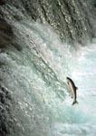 Salmon fighting its way up Brooks Falls, Katmai, Alaska