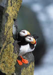 Horned puffins on rock ledge.