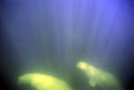 Beluga whales in sunlit water