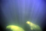 Beluga whales in sunlit water