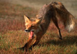 Yawning red fox