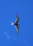 Arctic tern soaring in Alaskan sky