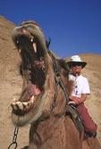 Yawning Camel shows his dentures.