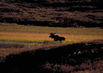 Bull moose at sunset on tundra