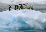 Adelie penguins gather on iceberg