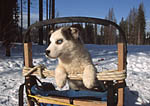 Future sled dog surveys the world from his sled