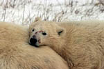 Sleepy young polar bear bear rests on mom's back