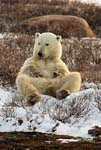 polar bear lounges on shores of Hudson Bay