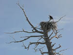 Bald eagle on nest