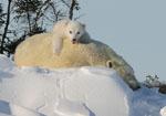 Polar bear cub peeks at world from mom's back