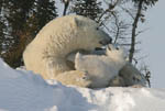 Polar bear mom and cub in a tender moment