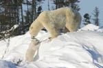 Tiny polar bear cub climbing snowbank to reach mom