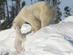 Tiny polar bear cub screams for mom's help in climbing snowbank