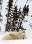 Polar bear cub nuzzles mom in a tender moment