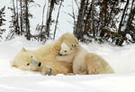 Polar bear cub plays with mom