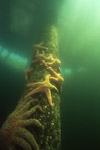 Sea stars hug piling of dock