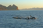 Dolphins at dawn