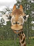 Goofy Giraffe