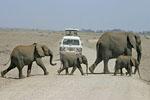 Elephants Cross The Road