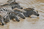 Zebras on Great Migration