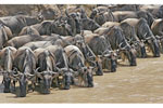 Wildebeests on Great Migration