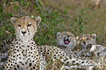 Cheetah Family At Rest