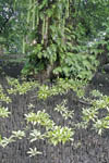 Artistic mangrove tree