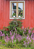 Colorful house surrounded by Greenland's national flower