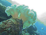 Soft coral on wall, Palau, Micronesia.