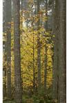 Bigleaf Maple in fall colors