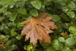 Fallen Bigleaf Maple leaf on bushes